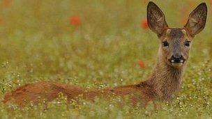 http://news.bbcimg.co.uk/media/images/65019000/jpg/_65019480_roe_deer_1.jpg