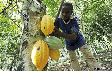 Agricultural worker harvests cocoa beans