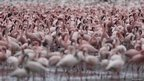 Huge numbers of flamingos feeding on a rift valley lake