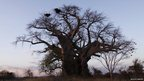 Baobab tree in South Luangwa National Park, Zambia