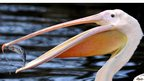 A Great White Pelican catches a fish in his pond at Dresden Zoo, Germany
