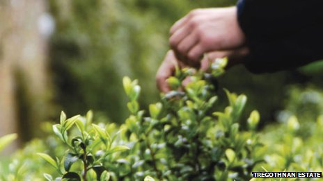 Plucking tea leaves at Tregothnan