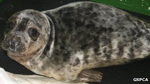 A seal pup rescued by the GSPCA