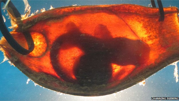 Embryonic brown-banded bamboo shark in egg case
