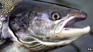 Salmon (generic)