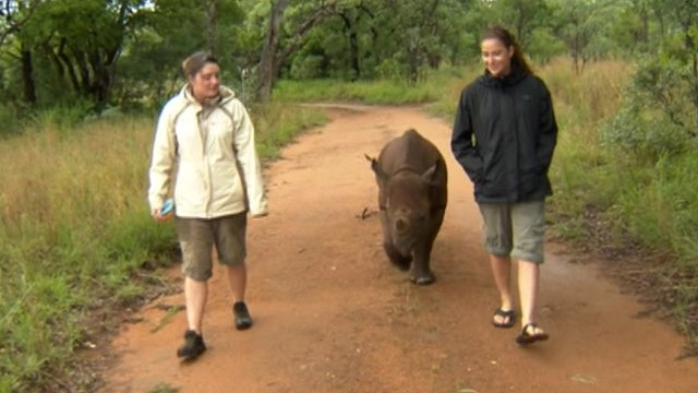 Wildlife conservationists walking alongside an orphaned rhino