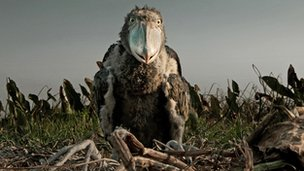 Shoebill chick (Balaeniceps rex) on its nest