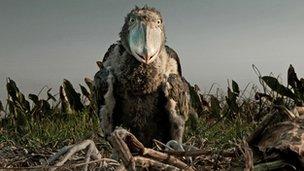 Shoebill chick (Balaeniceps rex) on its nest