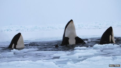 Killer whales surface through a small hole in the ice near Inukjuak, in Northern Quebec on 8 January 2013