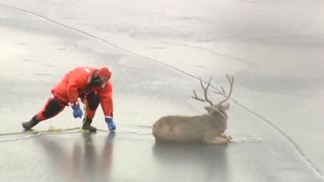 Rescue worker helping deer on lake