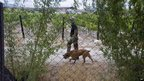 A private security guard walks with a dog on a grape farm in De Doorns in South Africa's Western Cape province on 9 January 2013.
