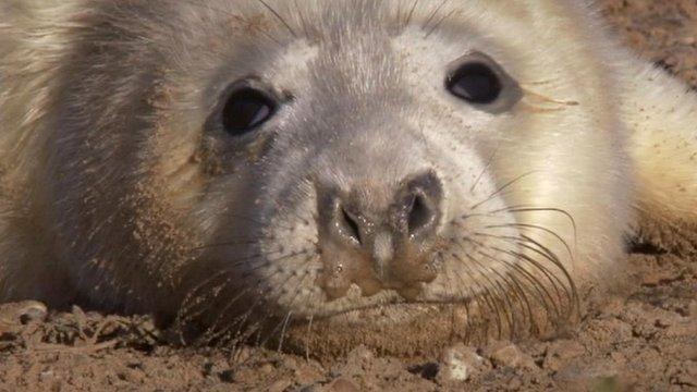 Grey seal pup at Blakeney