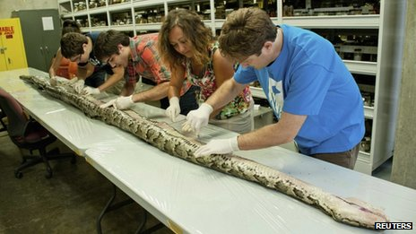 Researchers at the Florida Museum of Natural History in Gainesville, Florida examine a 17-foot-7-inch Burmese python which was captured in Everglades National Park 10 August 2012