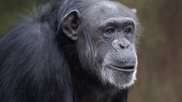 Chimp (c) Yerkes National Primate Research Center