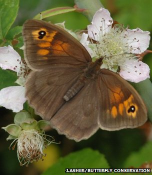 Meadow brown butterfly (Jim Asher/Butterfly Conservation)