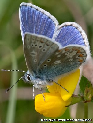 Common blue butterfly (Image: Peter Eeles/Butterfly Conservation)