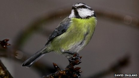 Blue tit in the rain (c) David England via BBC Winterwatch Flickr group