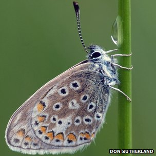 Common blue with water drop (c) Don Sutherland via BBC Winterwatch Flickr group