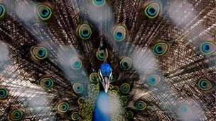 A peacock displays his tail feathers