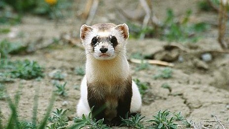 black footed ferret from Montana where it is legal to own the ...