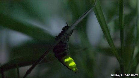 Glow-worm hanging on a blade of grass