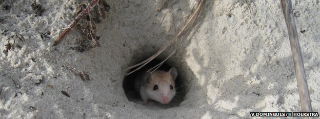 Oldfield mouse in burrow