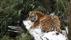 A large tiger is lying on a snow covered tree trunk. It is turning its face towards the camera and opening its mouth.