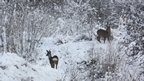 Two deer in the snow. One showing its white bottom and looking round towards the camera.