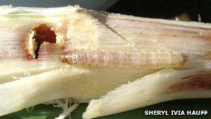 Sugarcane borer