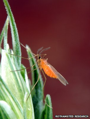 Orange wheat blossom midge