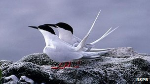 Roseate terns