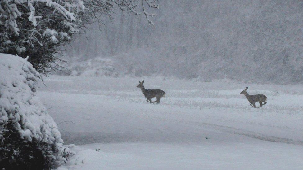 Deer in Snow Scenes Deer Running Through Snow at