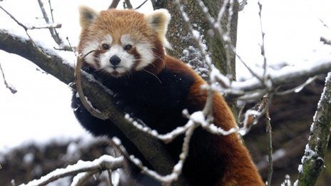 One of Bristol Zoo&#039;s red pandas perches in a snow covered tree