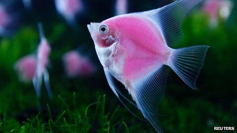 Glowing angelfish in Taiwan