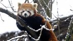 Red panda at Bristol Zoo
