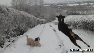 Ellie Howells' picture of her dogs enjoying the snow in Pentwyn Farm, Llannon, Carmarthenshire