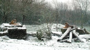 Blackpool Zoo's two Amur tigers, Alyona and Zambar, aren't bothered by the unusual conditions