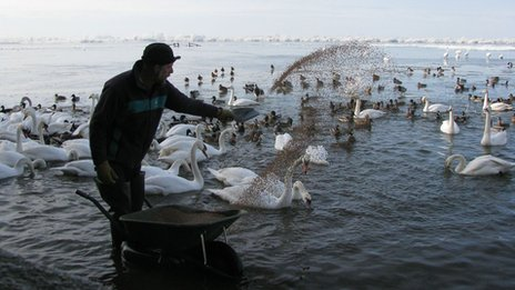 Swans feeding