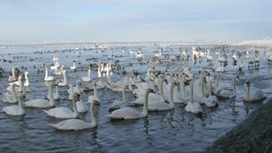 Swans gather