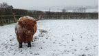 Holly the Highland cow at Church Farm, Thurstaston
