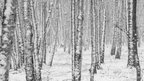The whole shot is made up of slim tree trunks covered in snow. It's a black and white shot.