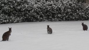 Wallabies in West Sussex Photo: Ian Gibson