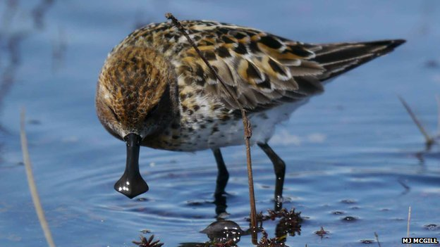 Spoon-billed sandpiper feeding