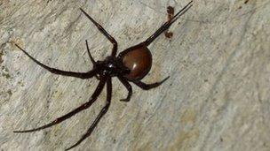 Meta bourneti laba-laba