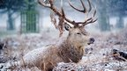 A stag sitting in bracken, is eating as the snow falls.