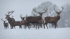 Red Deer Stags at Wadhurst