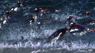 Frozen Planet - Adelie penguins