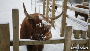 Highlander cow