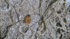 Chaffinch in a tree in Wragby, Lincoln