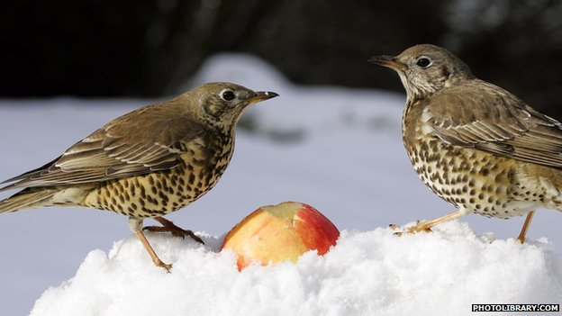 True thrushes (photolibrary.com)